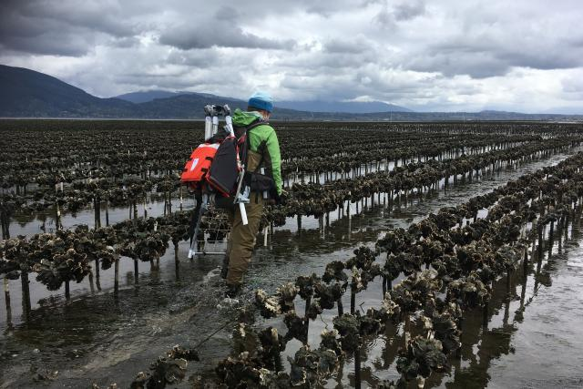 A researcher carries camera equipment through ankle-high water on an oyster farm.