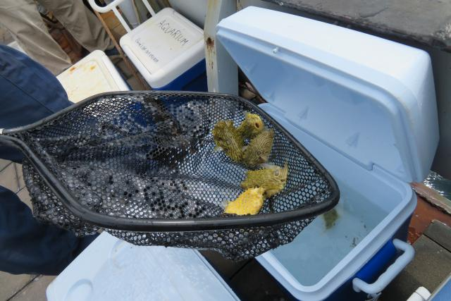 Burrfish in a dip net, being lifted from a portable cooler on deck.