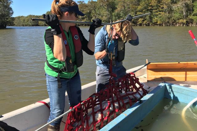 Twyla Cheatwood of NOAA Fisheries and David Hood of the South Carolina Department of Natural Resources, weigh a recaptured Atlantic sturgeon in the Pee Dee River.