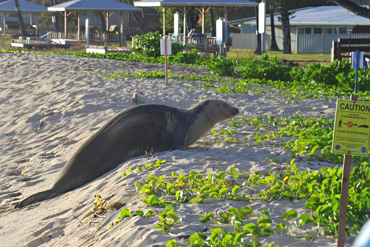 Monk seal in seal resting area on the beach with signage and ropes around.