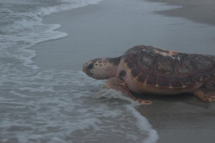 a sea turtle entering the surf off a sandy beach