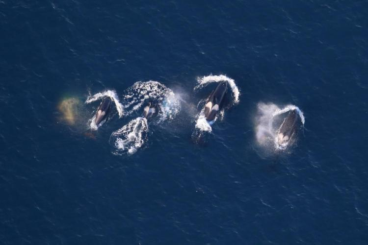 Photo of four killer whales at surface.