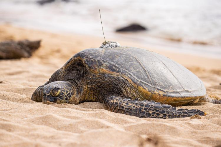 Image of punahele with sat tag on beach.