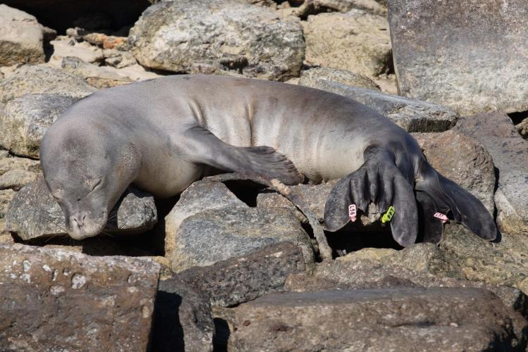 Picture of sleeping monk seal.