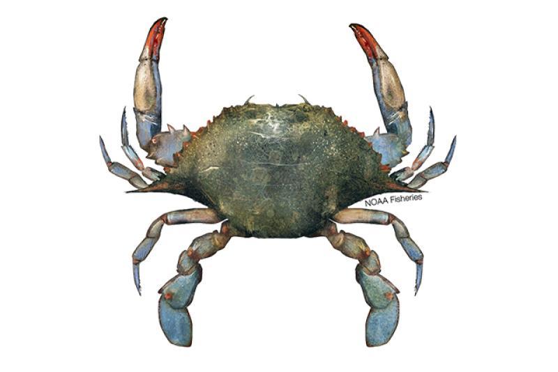 Blue crab illustration. Credit: Jack Hornady.