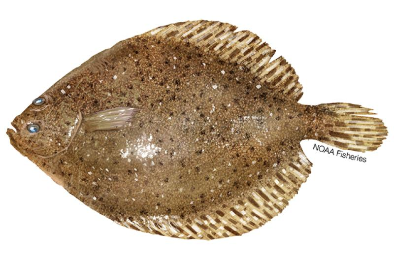 Windowpane flounder illustration. Credit: Jack Hornady.