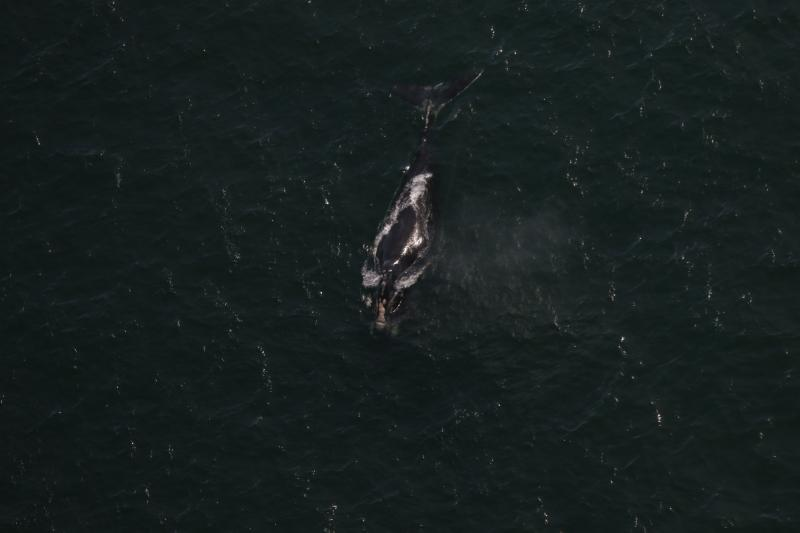 North Atlantic right whale seen from above with gear trailing from its mouth.