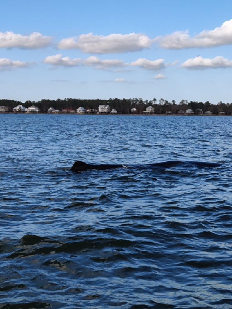 Sperm whale off AL
