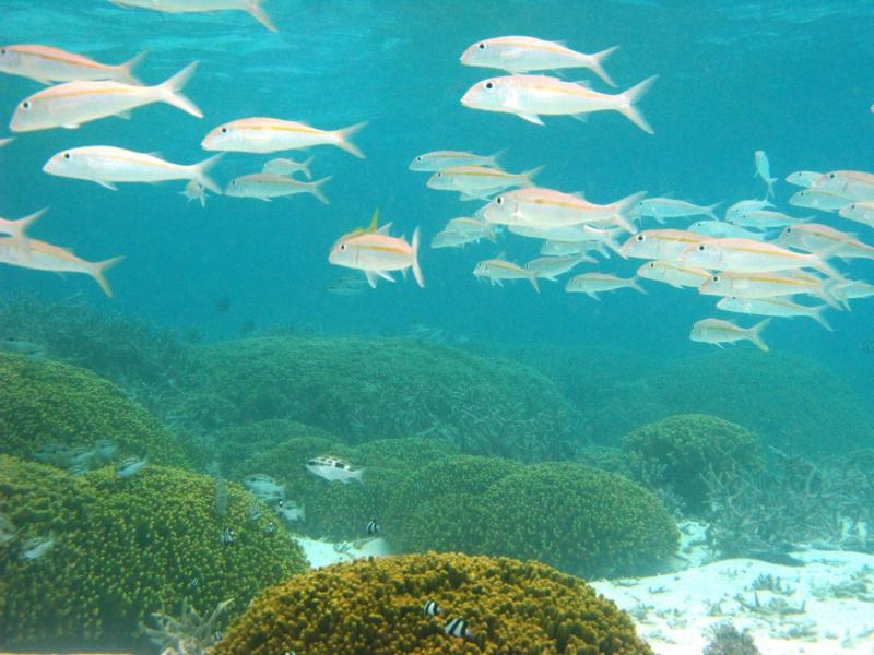 School of yellowstripe goatfish in Saipan lagoon.