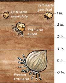 Fritillaria bulbs of all sizes