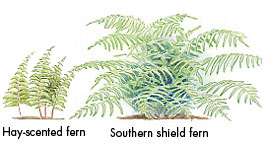 Ferns for sun