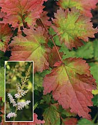 Color Flash astilbe