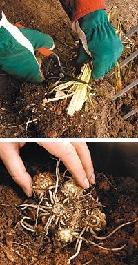 storing calla tubers