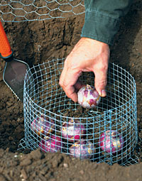 caging hyacinth bulbs