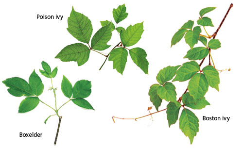 poison ivy identification guide gallery