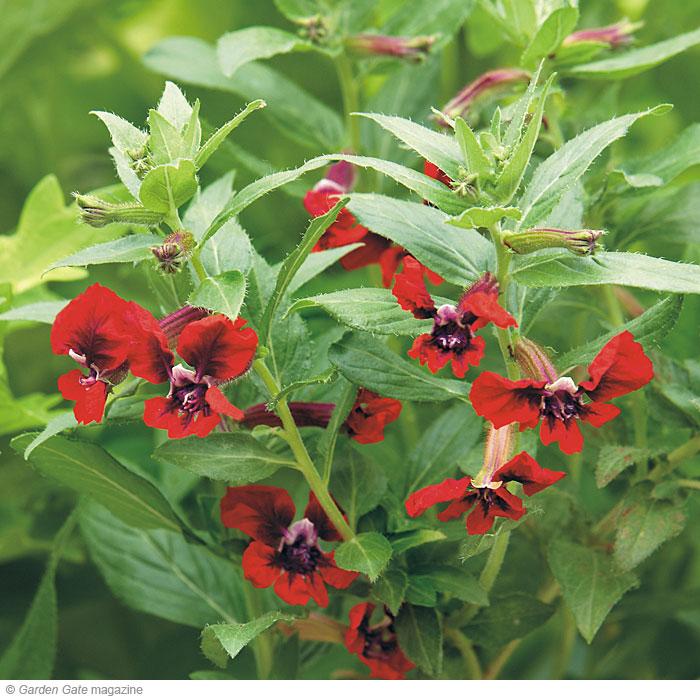 hummingbird plants garden gate enotes