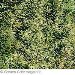Pyramidal yew