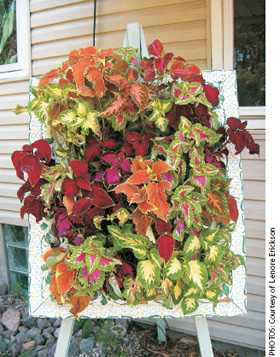 Fill a Frame with Coleus