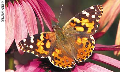Butterfly-attractive plants