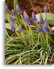 Dividing grape hyacinths