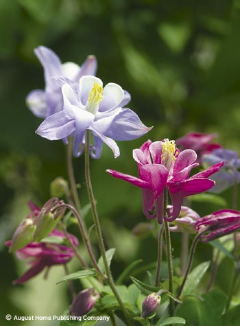 Collecting Columbine Seed