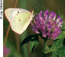 Sulphur butterfly on red clover