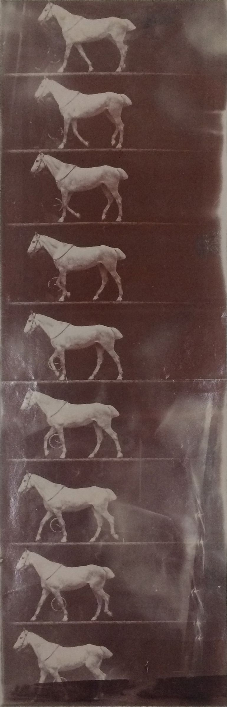 Etienne-Jules Marey, Untitled (horse [cob] walking, 1890–91. Gelatin silver print from film negative. Harvard Art Museums/Fogg Museum, Richard and Ronay Menschel Fund for the Acquisition of Photographs, 2012.198.