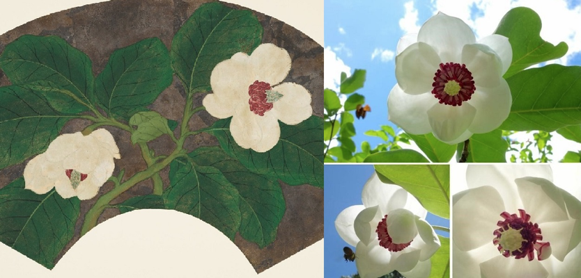There are two images side by side. The image on the right is a painted fan. It features two white magnolia flowers, one facing downward and one facing more upward, and several large green leaves set against a smoky gray background. The image on the right is a composite image of three photographs of a living magnolia plant, which has white petals, bright green leaves, and a magenta pink center.
