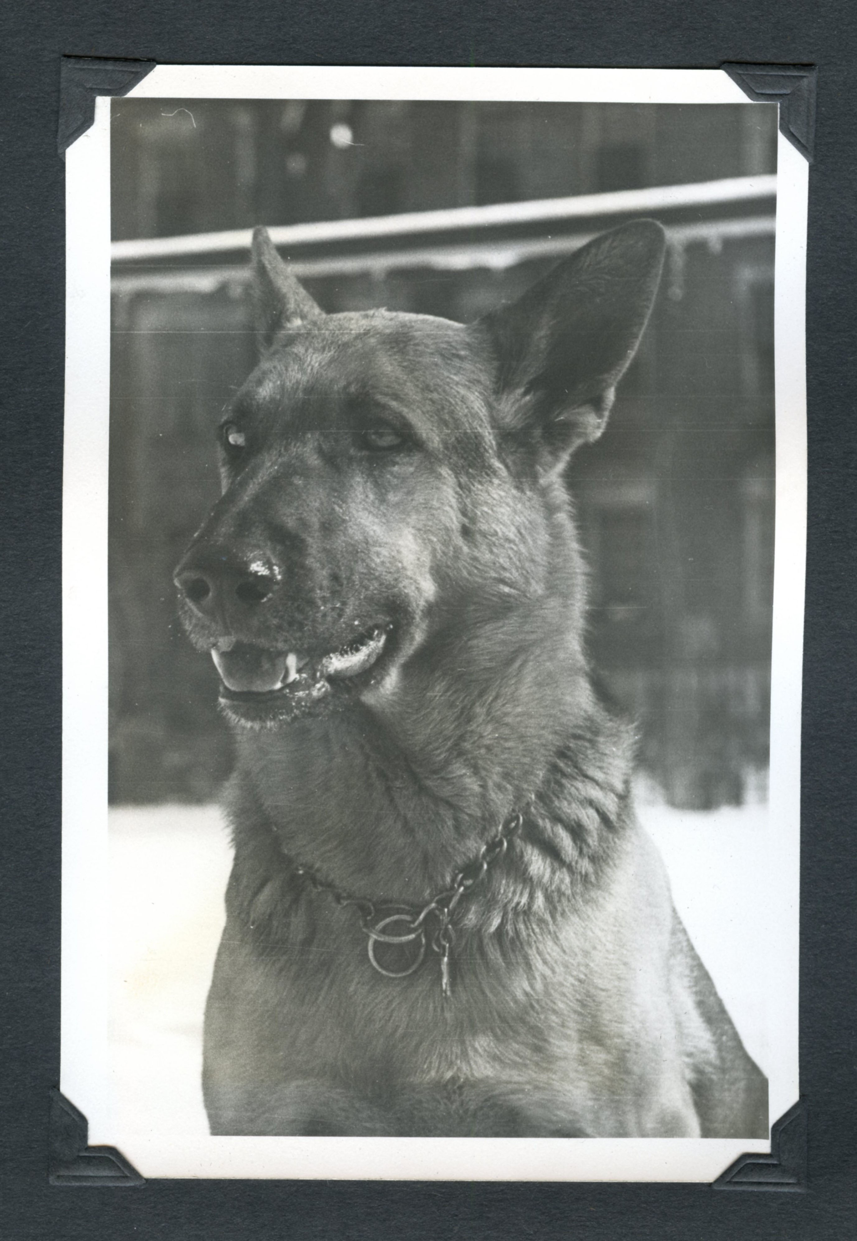 Rex, former guard dog at the Fogg Museum, who served from 1937 until at least 1941. Photo taken between 1930s and 1940s. Courtesy Harvard Art MuseumsArchives.