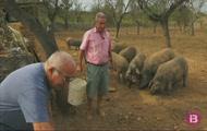 Verema a la serra, porcs, ovelles i sembra