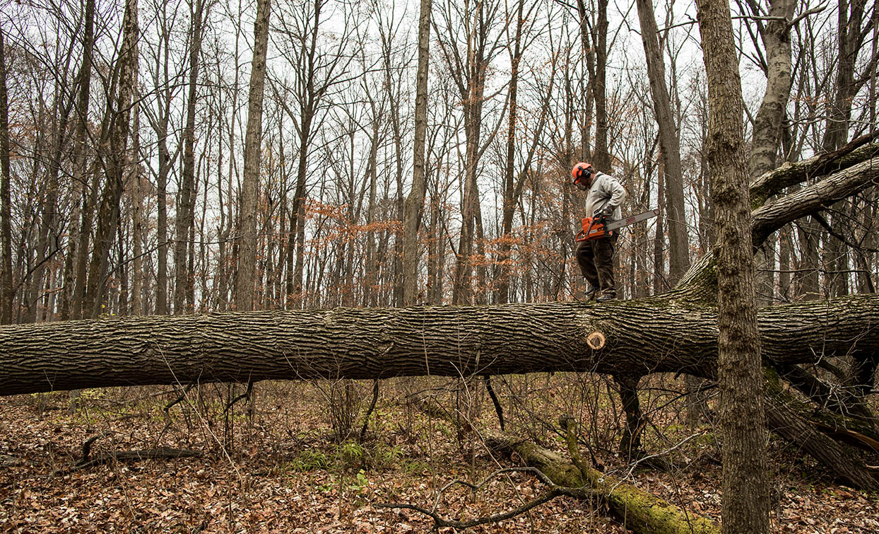 Kevin Pool prepares to top a felled tree outside of Indianapolis, IN.