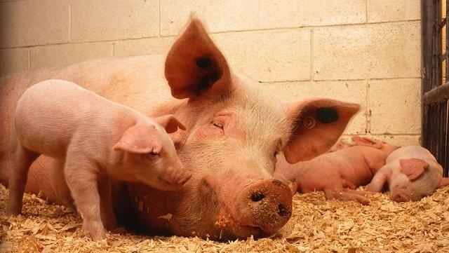 Pixabay pig pork bacon ham meat animal
