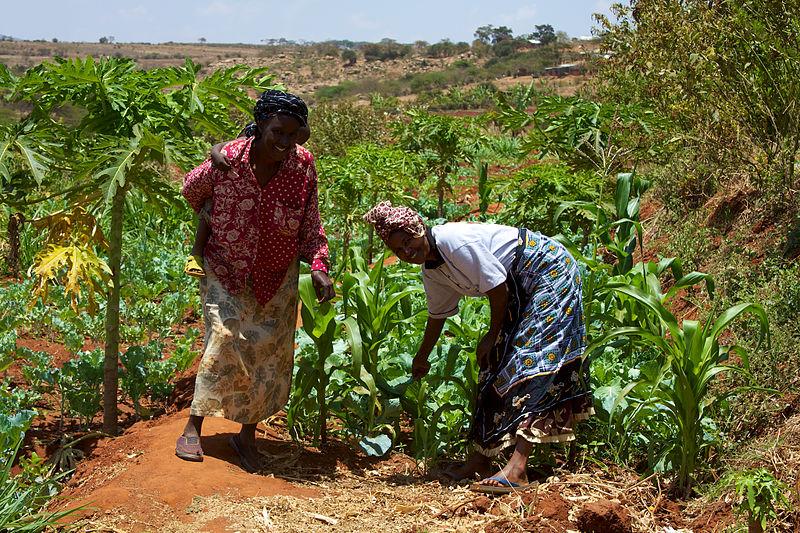 Africa – Corn Field. Agriculture Women smallholder farmers in Kenya wikipedia