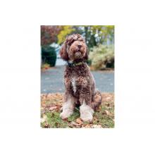 Volkl Dog Collar by Volkl