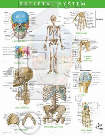 Matthews DMU Bookstore : Skeletal System. Netter Anatomy Charts