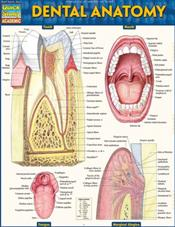 Dental Anatomy Laminated Reference Chart