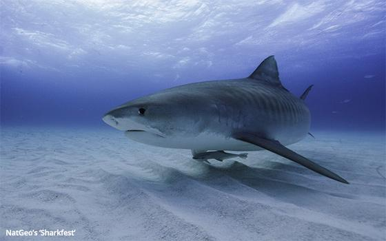 Fight To The Fin: NatGeo 'Sharkfest' Vs  Discovery 'Shark