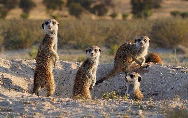 To The 'Manor' Born: Original Meerkats Mark Their Territory