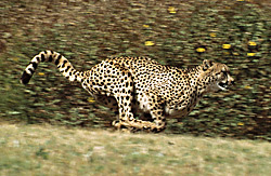 Cheetah-fastest-Animal