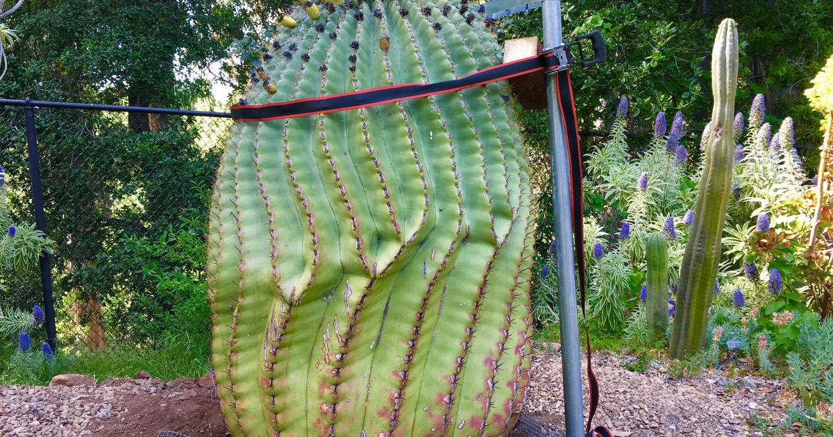 A Large Cactus in the Succulent Garden