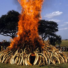 Torching of Ivory Stockpile in Malawi postponed. | Environment | The News Hub