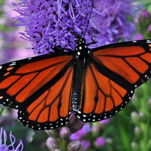 Radar Detects Monarch Butterflies in Strange Pattern Over St. Louis, Meteorologists Say