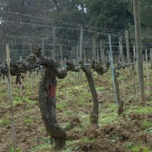 Discover Italy's Old Vine Wines