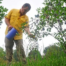 Georgia's blueberry crops outgrows peaches