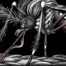 Humans are genetically modifying mosquitoes to fight a disease we helped create