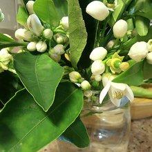 High CBD Orange Blossom Cannabis Tea Bhang ⋆ HEMPISTA