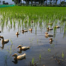 Want Cleaner Rice Paddies? Find a Flock of Ducks