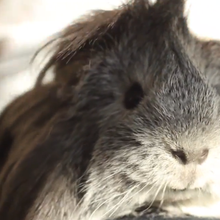 Carlos the guinea pig dies, Griz Nation mourns