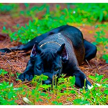 Cane Corso Breeders & Puppies for Sale - Blue Kings