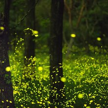 Fireflies annual sychronized show lights up South Carolina